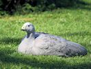 Cape Barren Goose (Slimbridge 25/09/18)