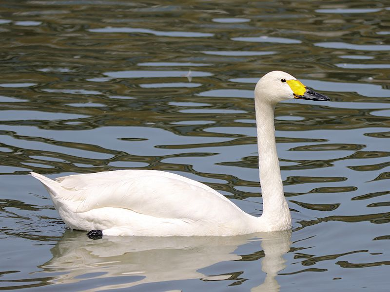 Bewick's Swan (WWT Slimbridge 04/07/19) ©Nigel Key