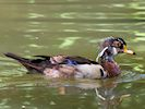 American Wood Duck (WWT Slimbridge 04/07/19) ©Nigel Key