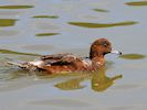 Eurasian Wigeon (WWT Slimbridge 04/07/19) ©Nigel Key