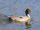 Northern Pintail (WWT Slimbridge March 2019) - pic by Nigel Key