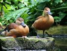 Lesser Whistling Duck (Slimbridge June 2015)