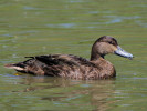 American Black Duck (WWT Slimbridge May 2012) - pic by Nigel Key