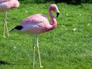 Andean Flamingo (Slimbridge July 2013)