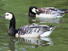 Barnacle Goose (Slimbridge August 2010)