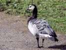 Barnacle Goose (Slimbridge September 2013)