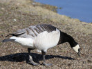 Barnacle Goose (Slimbridge April 2011)