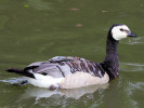 Barnacle Goose (Slimbridge August 2011)