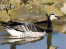 Barnacle Goose (Slimbridge March 2012)