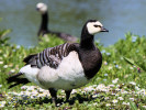 Barnacle Goose (Slimbridge May 2012)