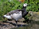 Barnacle Goose (Slimbridge July 2012)