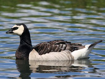 Barnacle Goose (Slimbridge 28/07/12)