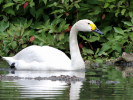 Bewick's Swan (Slimbridge June 2010)