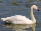 Bewick's Swan (Slimbridge May 2013)