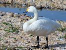 Bewick's Swan (Slimbridge September 2013)