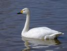 Bewick's Swan (Slimbridge April 2013)