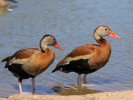 Black-Bellied Whistling Duck (Slimbridge May 2012)