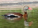 Black-Bellied Whistling Duck (Slimbridge May 2013)
