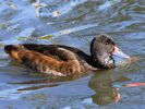 Black-Headed Duck (Slimbridge May 2015)