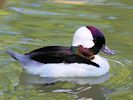 Bufflehead (Slimbridge May 2014)