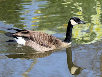 Canada Goose (Slimbridge 24/03/12)