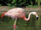 Chilean Flamingo (Slimbridge September 2013)