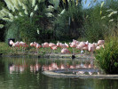 Chilean Flamingo (Slimbridge October 2011)