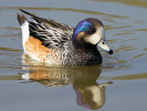 Chiloe Wigeon (Slimbridge March 2012)