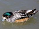 Chiloe Wigeon (Slimbridge April 2013)