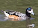 Chiloe Wigeon (Slimbridge July 2013)