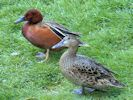 Cinnamon Teal (Slimbridge May 2013)
