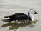 South African Comb Duck (WWT Slimbridge June 2011) - pic by Nigel Key