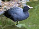 Coot (Slimbridge June 2011)