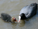 Coot (Slimbridge June 2009)