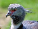 Crested Screamer (Slimbridge July 2013)