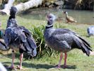 Crested Screamer (Slimbridge April 2013)