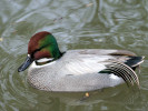 Falcated Duck (Slimbridge March 2009)