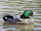 Falcated Duck (Slimbridge July 2013)