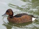 Ferruginous Duck (Slimbridge August 2011)