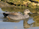 Gadwall (Slimbridge March 2012)