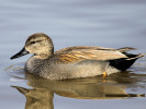 Gadwall (Slimbridge March 2011)