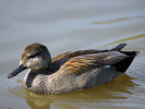 Gadwall (Slimbridge April 2011)
