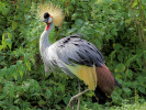 Grey Crowned Crane (Slimbridge August 2010)