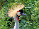 Grey-Crowned Crane (Slimbridge August 2010)