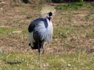 Grey-Crowned Crane (Slimbridge April 2013)