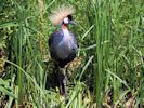 Grey-Crowned Crane (Slimbridge July 2013)