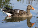 Greylag Goose (WWT Slimbridge October 2011) - pic by Nigel Key