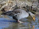 Greylag Goose (WWT Slimbridge April 2013) - pic by Nigel Key