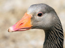 Greylag Goose (WWT Slimbridge June 2009) - pic by Nigel Key