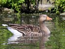 Greylag Goose (WWT Slimbridge September 2013) - pic by Nigel Key